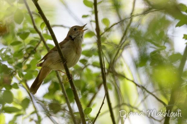 rossignol philomèle (Luscinia megarhynchos) - oiseau chanteur