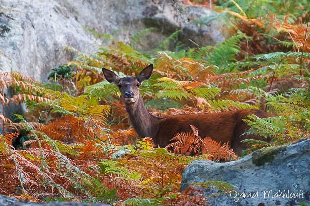 Biche (Cervus elaphus) - Forêt de Fontainebleau