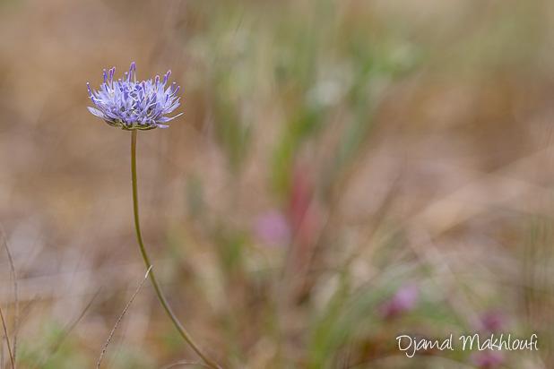 Jasione des montagnes (Jasione montana) - Fleur bleue