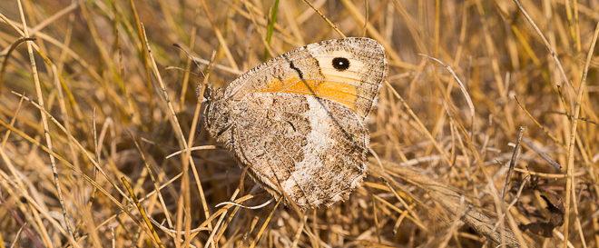 Mercure (Arethusana arethusa) - Petit Agreste - Papillon