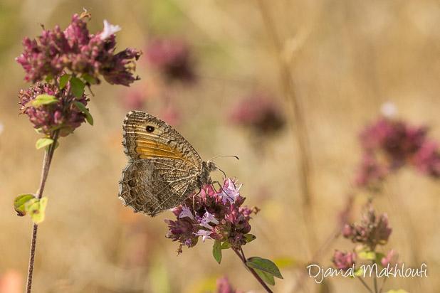 Le (papillon) Mercure sur de l'origan