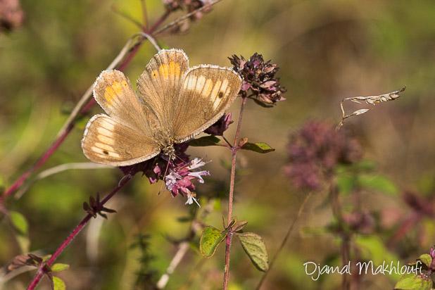 Papillon Mercure (Arethusana arethusa) - Petit Agreste