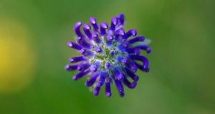 raiponce orbiculaire (Phyteuma orbiculare) - fleur sauvage