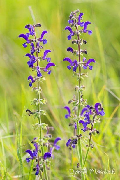 Sauge commune (Salvia pratensis) - Sauge des prés - photo - fleurs sauvages des prés