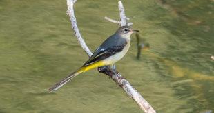 Oiseau hivernant en Île-de-France - Bergeronnette des ruisseaux (Motacilla cinerea) photo