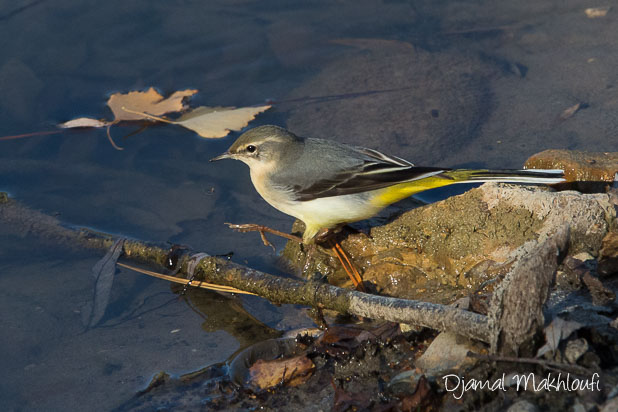 Oiseau hivernant en Île-de-France - Bergeronnette des ruisseaux (Motacilla cinerea)