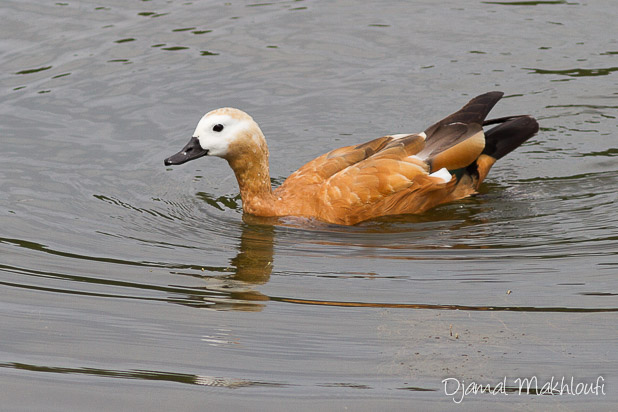 Tadorne casarca (Tadorna ferruginea) - Le canard roux
