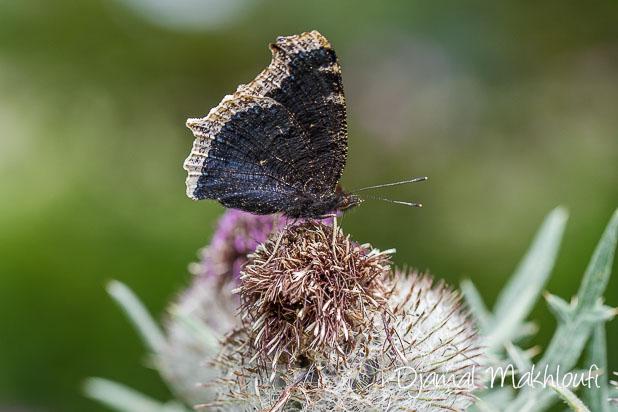 papillon Morio (Nymphalis antiopa)