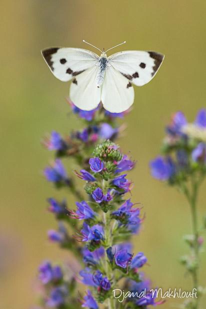 Femelle de la Piéride du chou - photo - identification papillon blanc