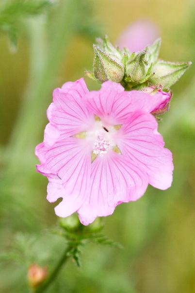 Mauve sylvestre - fleurs roses sauvages des bois