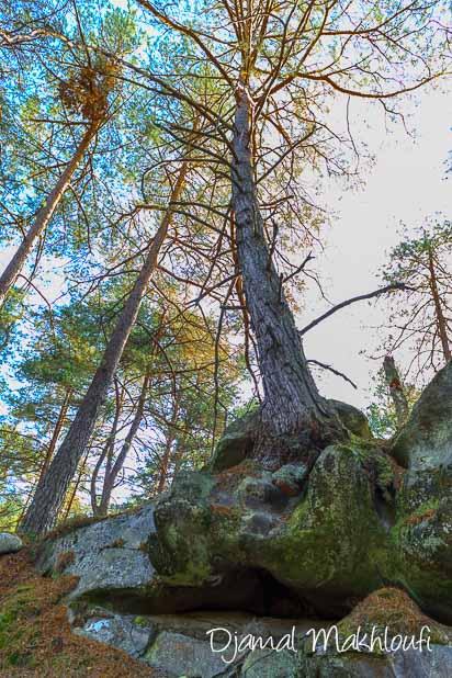 Arbre qui pousse sur un rocher de grès - La Roche qui parle (forêt de Fontainebleau)