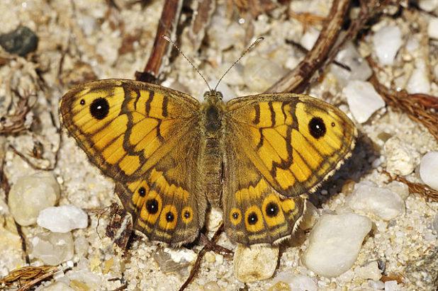 Mégère - Papillon femelle (Lasiommata Megera) - Par Jörg Hempel