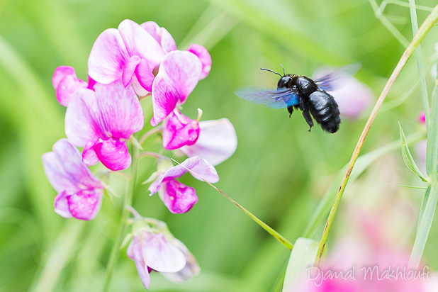 Abeille charpentière | Xylope (Xylocopa violacea)