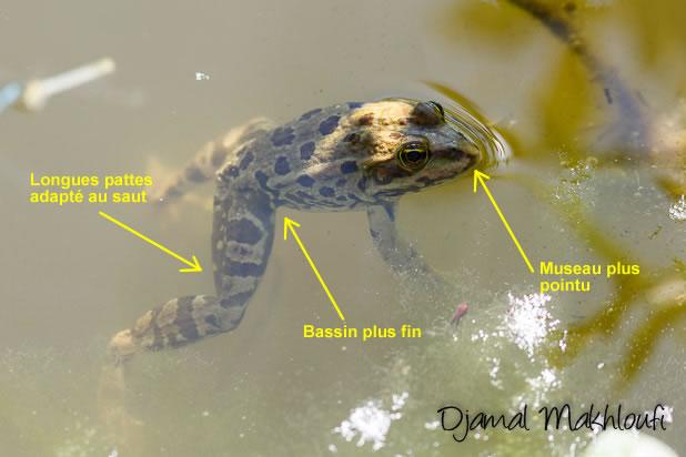 Critères d'identification de la grenouille