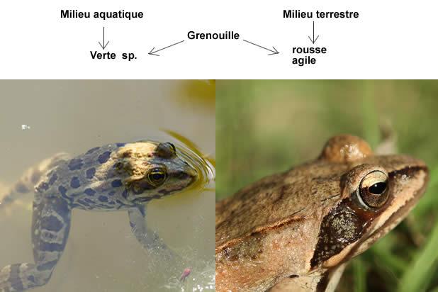 Différences entre une grenouille et un crapaud