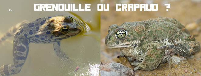 grenouille ou crapaud ?