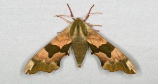 Sphynx du tilleul (Mimas tiliae)