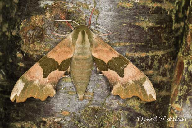 Mimétisme du Sphynx du tilleul (Mimas tiliae) - photo - habitat - description - cycle annuel