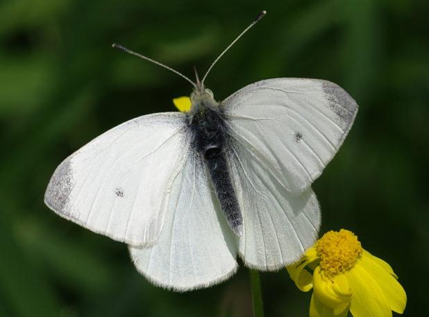 piéride de la rave mâle - papillon blanc et noir
