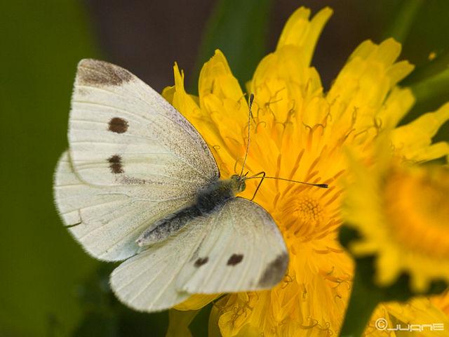 piéride de la rave femelle - papillon blanc et noir