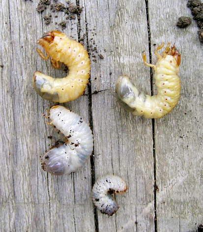 Différences des larves de cétoines dorées et hanneton - Isabelle Diana