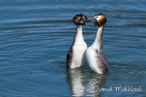 Parade nuptiale de grèbes huppés - Quels oiseaux voir en avril ?