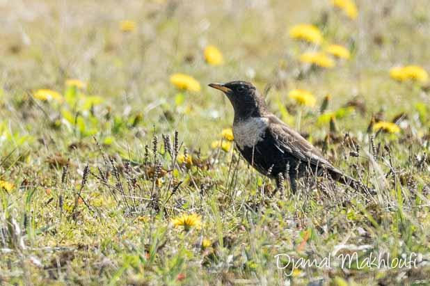 Merle à plastron (Turdus torquatus) - Quels oiseaux voir en avril ?