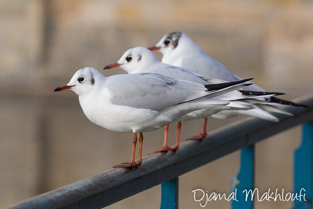 Mouettes rieuses en plumage hivernal
