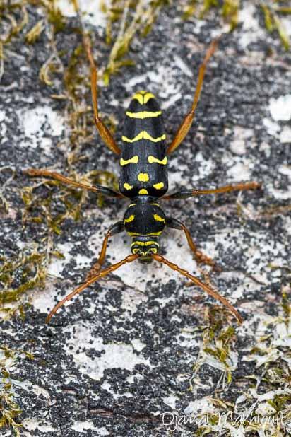 Clyte arqué (Plagionotus arcuatus) vue de dessus