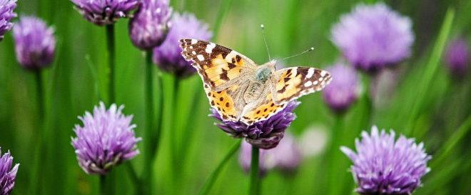 Papillon Belle-Dame - Vanesse des chardons