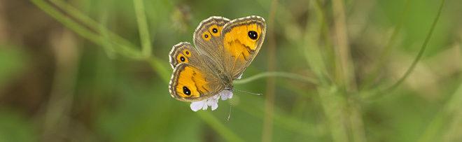 Comment reconnaitre les papillons marron ?