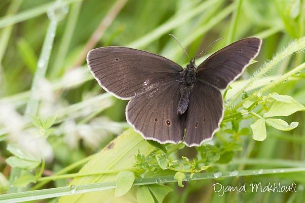 Tristan ailes ouvertes - Papillon marron et jaune