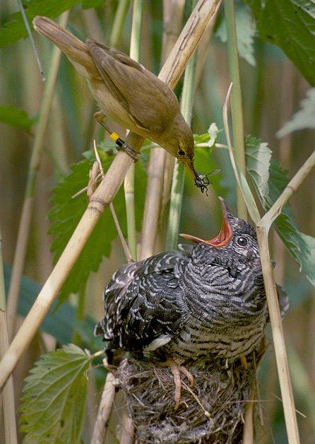 Rousserolle turdoïde nourrissant un jeune coucou gris