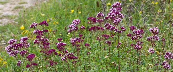 Origan sauvage (Origanum vulgare) - Marjolaine sauvage fleur mellifère