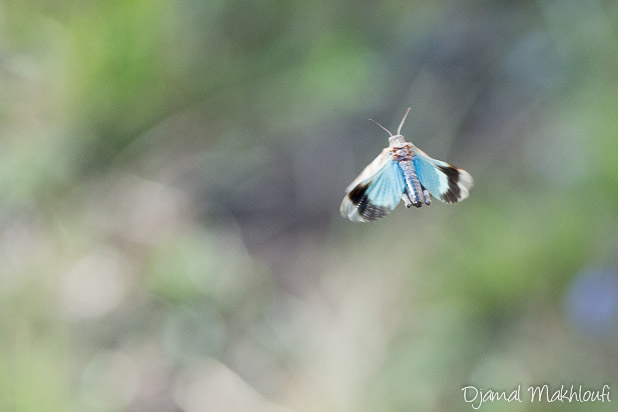 Oedipode turquoise - Criquet à ailes bleues en vol