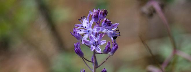 Scille d'automne (Prospero autumnale) - Fleurs sauvages d'août