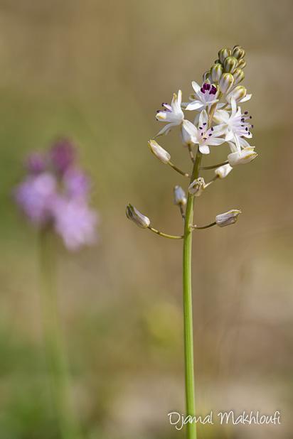 Scille d'automne blanche (Prospero autumnale) - Fleur d'été