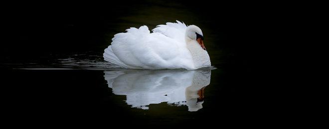 Cygne tuberculé - Cygne blanc (cygnus olor)