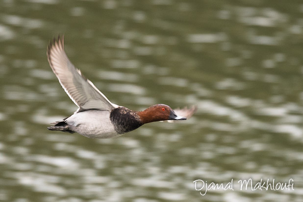 Fuligule milouin mâle - Quels oiseaux voir en novembre ?