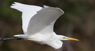 Grande aigrette - Quels oiseaux voir en novembre ?