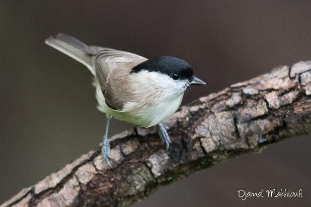 Mésange nonnette (Poecile palustris) - Oiseau des bois