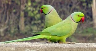 Perruche à collier (Psittacula krameri) - Oiseau vert (Pixabay)