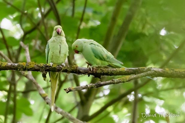 Perruche à collier (Psittacula krameri) - Oiseau vert