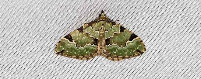 Cidarie verdâtre - Papillon de nuit d'Ile de France