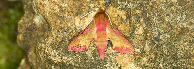Petit Sphinx de la Vigne (Deilephila porcellus)