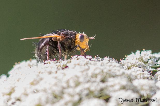 Grosse mouche noire à tête jaune - Tachina grossa - Échinomyie grosse - Tachinaire corpulente