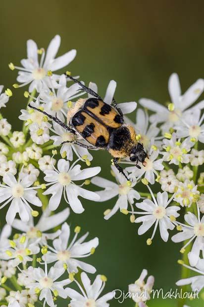 Trichie commune (Trichius rosaceus) - Coléoptère noir et jaune