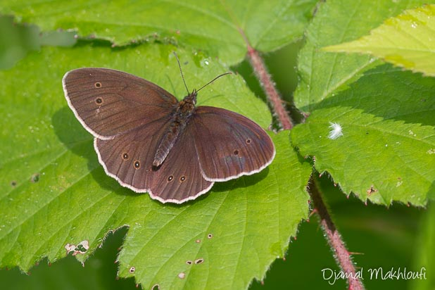 Papillon Tristan (Aphantopus hyperantus)