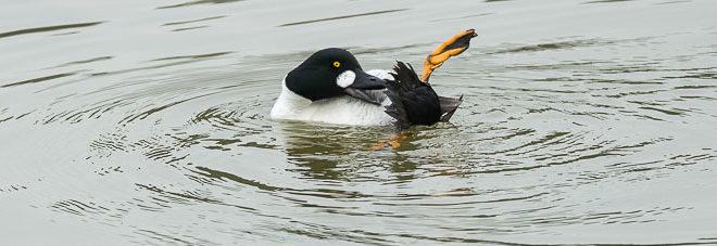 Garrot à oeil d'or mâle - Quels oiseaux voir en mars ?