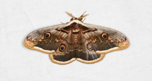 Grand paon de nuit (Saturnia pyri) - Plus grand papillon d'Europe
